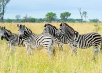 Burchells Zebra - Londolozi - South Africa