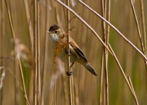 Chew Valley Lake - Reed Warbler