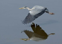 Heron - Slimbridge UK