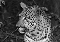 Leopard - Londolozi South Africa
