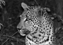 Leopard - Londolozi South Africa