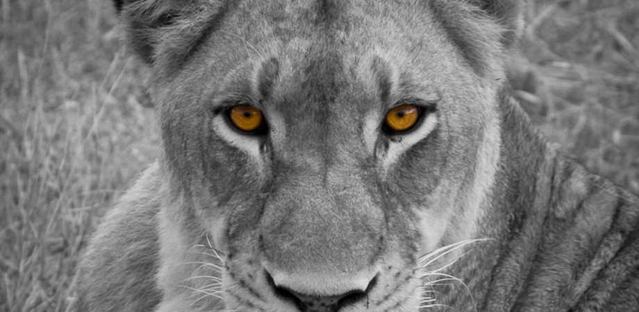 Lioness (2)