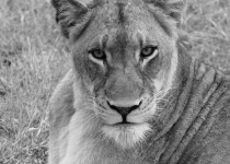 Lioness - Londolozi - South Africa